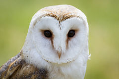 Screech owl. A barn owl staring at something Royalty Free Stock Image