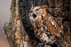 Screech Owl Calling Royalty Free Stock Photo
