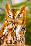 Screech Owl Close-Up. Close-Up of a Screech Owl Royalty Free Stock Photo
