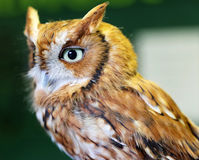 Screech Owl Royalty Free Stock Photos