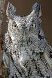 Screech Owl Closeup (white and black) Stock Photography