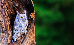 Screech owl in deep thought Stock Images