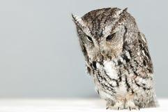 Screech Owl royalty free stock photos