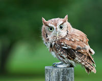 Screech owl on fence post stock images