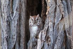 Screech Owl. Found this beauty just napping in a tree Royalty Free Stock Image