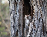 Screech Owl. Found this beauty just napping in a tree Stock Photography