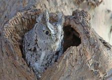 Screech Owl, Grey phase, New York Royalty Free Stock Image