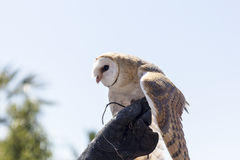 Screech owl Stock Image