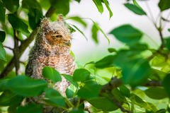 Screech Owl Looking Away stock photos