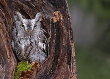 Screech Owl Looking from Stump Royalty Free Stock Photography