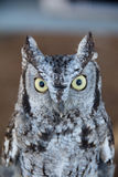 Screech Owl. (Megascops asio) peering Royalty Free Stock Photos