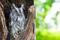 Screech Owl n Tree Stock Images
