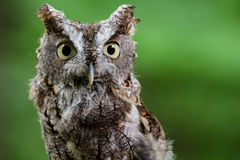 Screech owl outdoors. A closeup of a screech owl outdoors Stock Photo