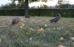 Screech-owl. Owls on a walk in the autumn park Stock Photos