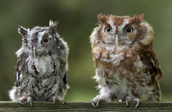 Screech Owl Pair. Two funny looking screech owls Royalty Free Stock Photo