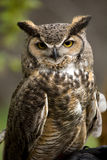 Screech Owl portrait. Portrait of beautiful Screech Owl royalty free stock photos