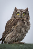 Screech owl portrait. Close up portrait of a western screech owl Megascops perched and staring forward Royalty Free Stock Images