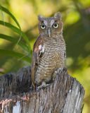 Screech owl. Portrait of screech owl with green nature background Royalty Free Stock Images