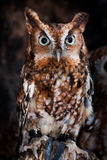Screech Owl Portrait. A screech owl perched on a stump Royalty Free Stock Photos