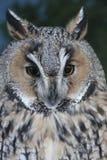 Screech Owl Stock Photo