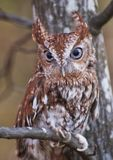 Screech Owl posing two Royalty Free Stock Photography