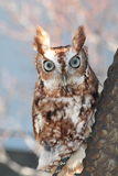 Screech owl. Red Phase canned photo Royalty Free Stock Photos