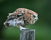 Screech Owl Red Phase on fence post Stock Photo