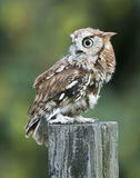 Screech Owl Red Phase on fence post Stock Image