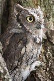 Screech owl Royalty Free Stock Photography