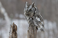 Screech. A screech owl sitting on log in Montana mountains Stock Photography
