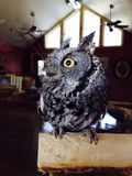Screech owl. A screech owl is sitting on a perch indoors looking off the its right Stock Photos