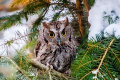 Screech Owl Stock Photo