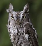 Screech Owl Stare. A close-up of an Eastern Screech Owl (Megascops asio) staring at the camera Stock Photography