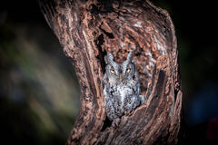 Screech owl. On a tree with snow Royalty Free Stock Images