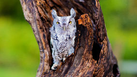 Screech owl. On a tree with snow Stock Photography