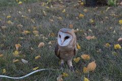 Screech-owl. Owl on a walk in the autumn park Royalty Free Stock Image