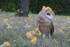Screech-owl. Owl on a walk in the autumn park Royalty Free Stock Images