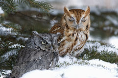 Screech owls. Small screech owls in winter Royalty Free Stock Photography