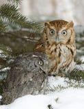 Screech owls. Pigeeon sized screech owls. Northern Minnesota Stock Images