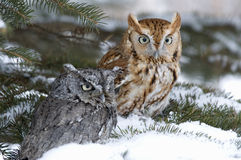 Screech owls. Roosting in evergreen. Northern Minnesota in winter Stock Photo