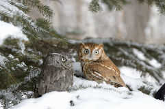 Screech owls. Screeh owls in winter. Focus on lighter bird Royalty Free Stock Photography