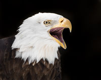 Screeching Eagle II Stock Photos