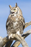 Screeching great horned owl Royalty Free Stock Images