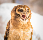 Screeching Owl. Owls is screeching during Winter in Japan Stock Photography