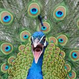 Screeching peacock Royalty Free Stock Photos