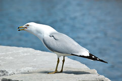 Screeching Ring-billed Gull on a Rock Royalty Free Stock Photos