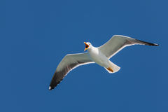 Screeching seagull with a deep blue sky Royalty Free Stock Photo
