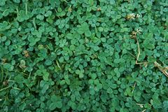 A screen full of rain clovers. royalty free stock photo