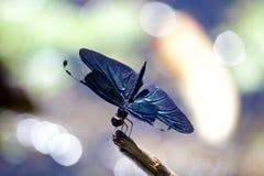 Scrematrice della farfalla immagini stock libere da diritti
