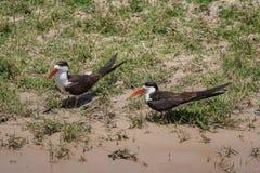 Scrematrici nere che aspettano lungo il fiume di Chobe fotografia stock libera da diritti